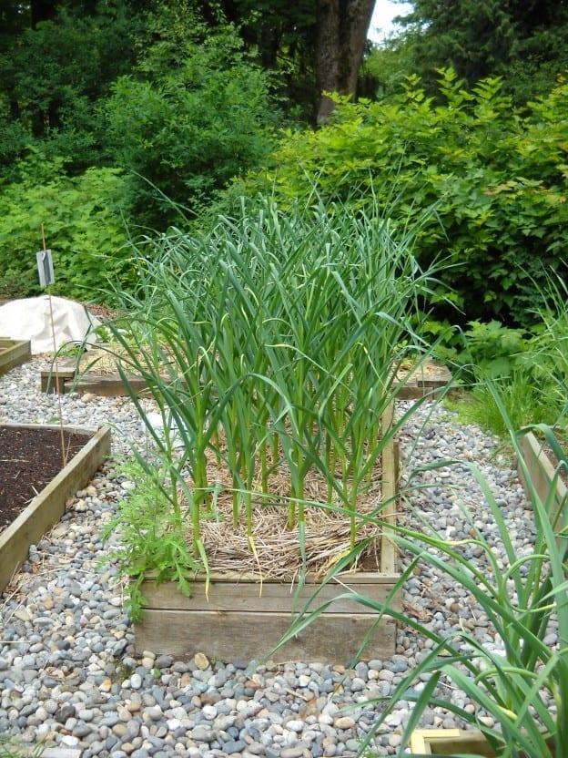 Garlic, garlic, garlic! from My Kitchen Wand